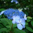 萼(がく)紫陽花