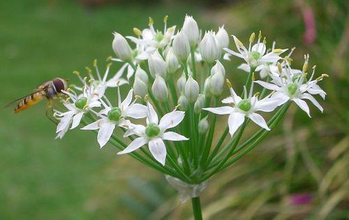 韮 (にら)の花