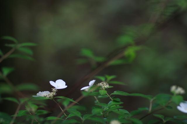 額空木 (がくうつぎ)