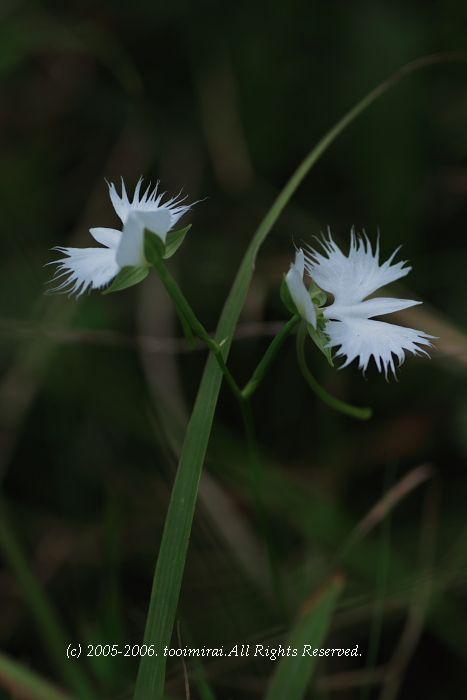 鷺草 (さぎそう)
