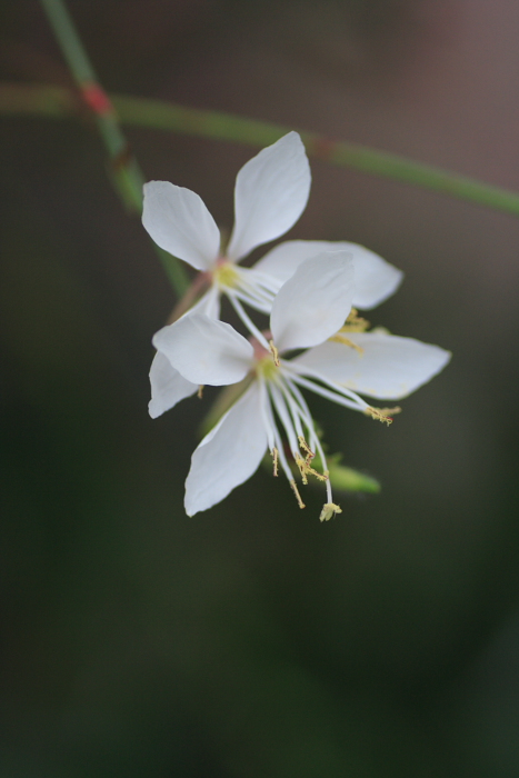 白蝶草(はくちょうそう)